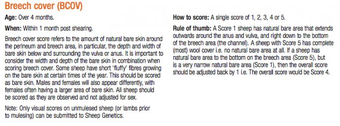 Scoring breech cover. Source: Sheep Genetics.