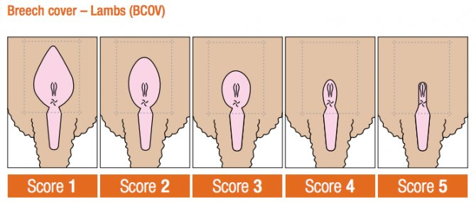 Breech cover scores. Source: Sheep Genetics.