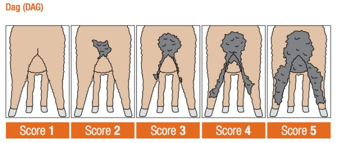 Dag scores. Source: Sheep Genetics