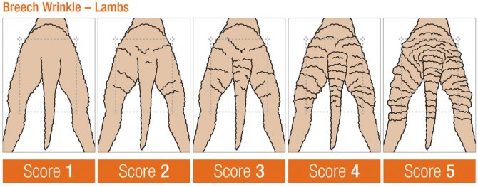 Figure 1. Breech wrinkle scores. Source: Visual Sheep Scores, AWI and MLA