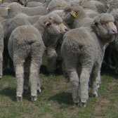 Figure 1. Plain-bodied rams. Source: Deb Maxwell