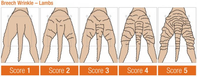 Figure 1. Breech wrinkle scores for lambs. Source: Sheep Genetics