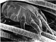 The sheep scab mite, Psoroptes ovis, has been eradicated from Australia for over a century. Source: Gerry Brennan, Queen's University Belfast